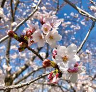 大阪城公園花見ジョギング2019.3.31 - ちゃーぼー日記