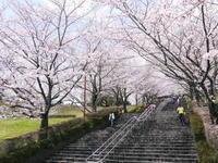 菊池公園、菊池神社の桜photoコレクション 2019 - FLCパートナーズストア