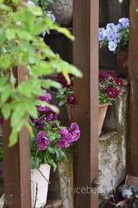 ビオラとパンジーが満開です♪ - 小さな庭 2
