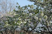 ■サクラ 4種19.3.31(染井吉野、大島桜、山桜、枝垂れ桜) - 舞岡公園の自然2