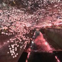 2019年3月31日の夜桜。 - 松毬のように