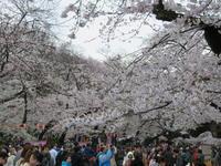桜が満開です - 夢の超特急・カメ号