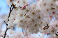 桜 - ぎんネコ☆はうす