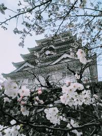 今朝の福山城公園の桜 - 風見鶏日記