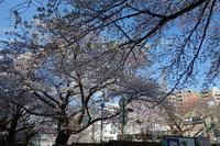 桜花の季節 - 疾風谷の皿山…陶芸とオートバイと古伊万里と
