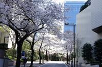 桜坂 ~ スペイン坂 の桜並木 2019 - オートクチュールの旅日記