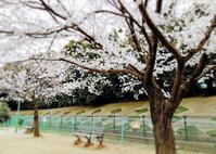 桜散歩 2019 - CROSS SKETCH