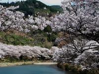 桜、満開です。 - ふらりぶらりの旅日記