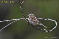 お山の冬鳥たち③ - 奥武蔵の自然