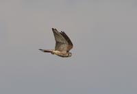 チョウゲンボウのホバリング - 私の鳥撮り散歩