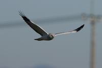 ハイイロチュウヒその35(お別れの挨拶か?②) - 私の鳥撮り散歩