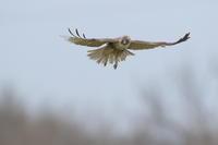 ノスリ②近かった - 気まぐれ野鳥写真