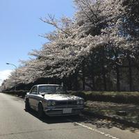 2019桜。 - ハコスカ写真館