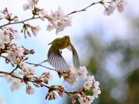 多々良沼の桜が、そろそろ見頃に・・・間もなく満開かと - 『私のデジタル写真眼』
