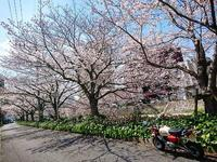 桜満開 花冷え - EVOLUTION