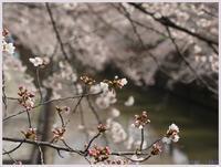 戸田市笹目辺りの桜-2 - 趣味の写真 ~OLYMPUS E-M1MarkⅡ、PenF~