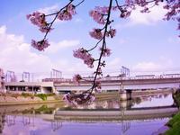 桜と令和 - 生物観察