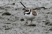 ★上の池にクイナとヒクイナ。ノスリも残っています・・・先週末の鳥類園(2019.3.30~31) - 葛西臨海公園・鳥類園Ⅱ