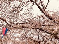 夢と桜 - いぬ猫フェレット&人間