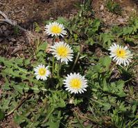 春の山野草 - ひつじのつぶやき