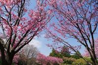 早咲き桜(陽光) - 自然と仲良くなれたらいいな2