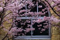 桜2019!~旧成徳中学校~ - Prado Photography!