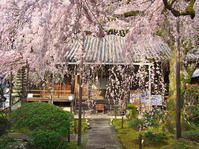 桜めぐり2019~専称寺~ - ばってらの放浪季