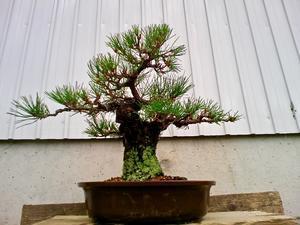 黒松の植え替え - 盆栽便り