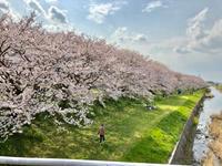 うきは、流川の桜並木と浮羽稲荷神社 - ゆるゆると・・・