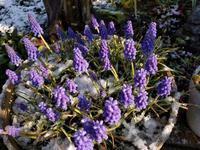 ムスカリに雪 - natural garden~ shueの庭いじりと日々の覚書き
