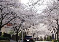 六本木ヒルズの桜 - オートクチュールの旅日記