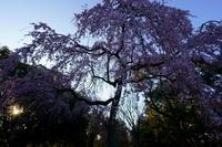 京都御苑出水の糸桜 - Deep Season