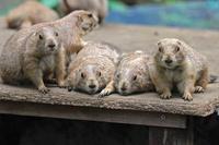 プレーリードッグの子供たちとバイソンっ仔「オーレ」(上野動物園 July 2018) - 続々・動物園ありマス。