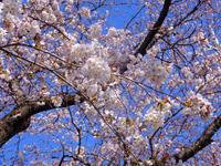 桜と伊丹十三4月2日(火) - しんちゃんの七輪陶芸、12年の日常