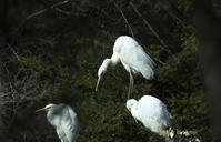 札内ガーデン温泉のダイサギ・他! - ・・・北海道・十勝の野鳥と自然・・・