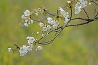 桜です。 - イーハトーブ・ガーデン