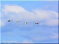 白鳥の編隊飛行 - 北海道photo一撮り旅