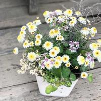 マーガレットハニービー - さにべるスタッフblog     -Sunny Day's Garden-