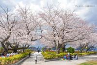 桜と艦船 『ヴェルニー公園2019』 - 写愛館
