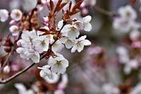 ヤマザクラが咲いている - 森のことば、ことばの森