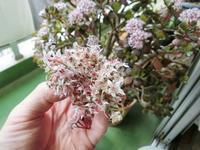 3/31(日)、自宅の花(金の成る木)→砂押川の桜ほか - 某の雑記帳
