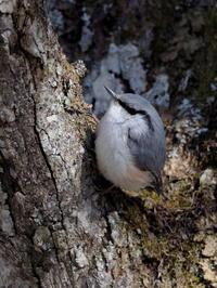 近い近いゴジュウカラがすぐそこに - コーヒー党の野鳥と自然 パート2