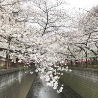 2019年4月1日の桜。 - 松毬のように