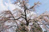 昭和記念公園の枝垂桜 - 自然と仲良くなれたらいいな2
