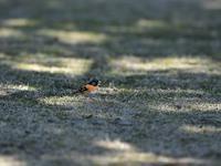 今季・・・アトリ。 - 鳥見んGOO!(とりみんぐー!)野鳥との出逢い