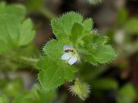 雑草の花(フラサバソウ、カラスノエンドウ、ムラサキケマン、ツクシ、スギナ) - 花と葉っぱ