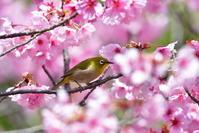 陽光桜にメジロ - 季節の映ろひ