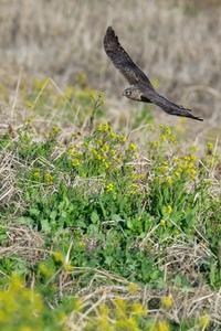 お花見鳥⑩菜の花ハイイロチュウヒ(雌) - 花野鳥風月MISCHEH