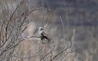 ノスリ(鵟) - azure 自然散策 ~自然・季節・野鳥~