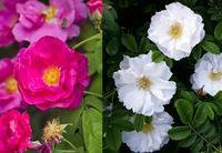 Garden Storyにて「英国の薔薇戦争がその後のバラの世界に与えた影響とは」がアップされました。 - 元木はるみのバラとハーブのある暮らし・Salon de Roses